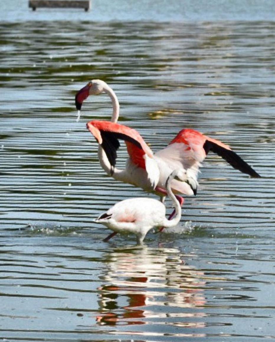 flamingos-Calp-las-Salinas